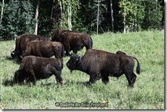 Aug_24_Wood Bison_10