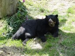 201506.21-056 ours à lunettes
