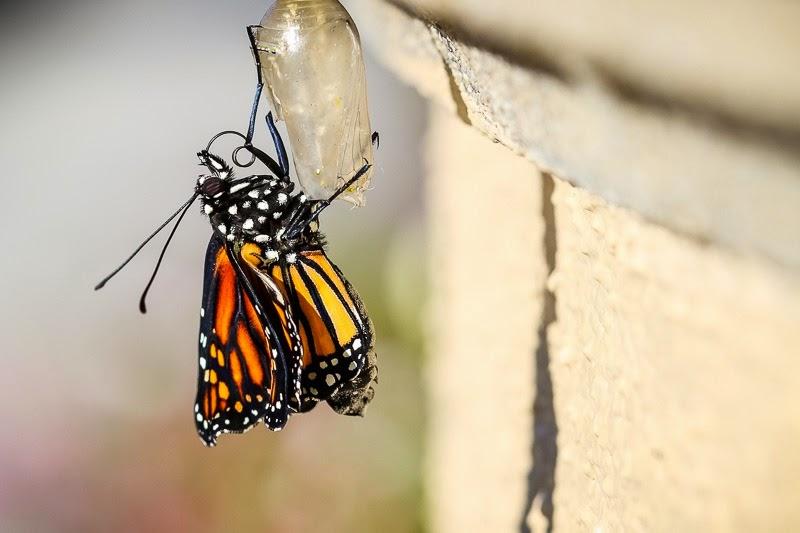 emerging monarchs-9
