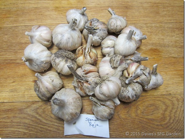 Spanish_Roja_garlic