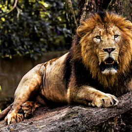 Majestic Lion by Kusal Gautamadasa - Animals Lions, Tigers & Big Cats ( cat, majestic lion )
