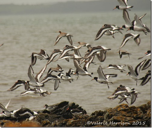 32-Black-tailed-Godwits-and-oystercatchers