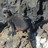 Mamãe e bebê - Tintoreras - Isabela - Galápagos, Equador