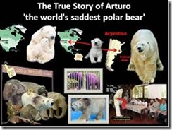 arturo_world saddest polar bear_thumb[2]