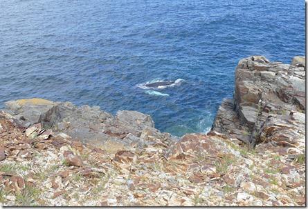 nl_pr_elliston_whale