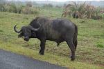 African buffalo at iSimangaliso Wetland Park