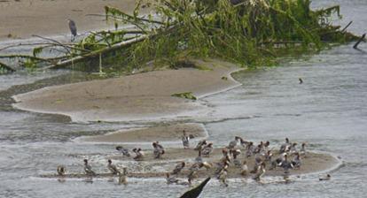 Quillayute River Readhead Ducks