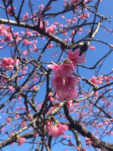 Okinawa cherry blossom