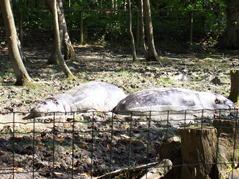2007.08.09-031 hippopotames nains