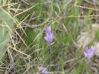 Dichelostemma capitatum – Bluedicks - AZ Trail 4/16