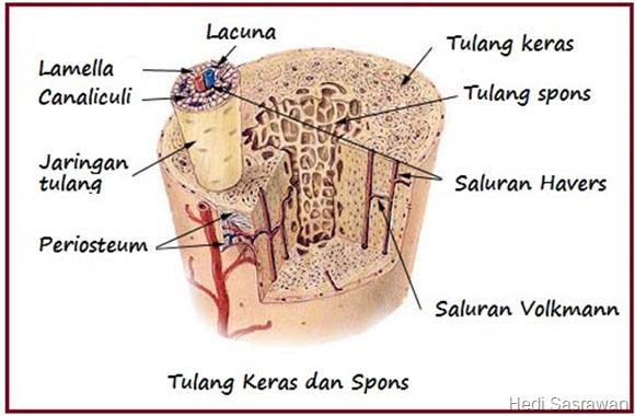 Tulang spons
