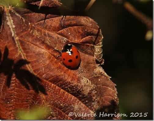 17-7-spot-ladybird