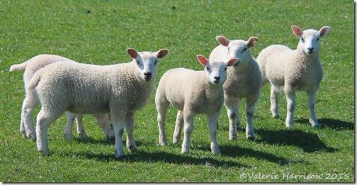 16 lambs
