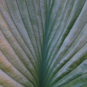 Hibiscus Leaf by VAM Photography - Nature Up Close Leaves & Grasses ( nature, fall, nyc, places, leaf,  )