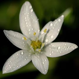 Wild white crocus by Renata Ivanovic - Flowers Flowers in the Wild ( nature, wildflower, crocus, white, meadow, close up )