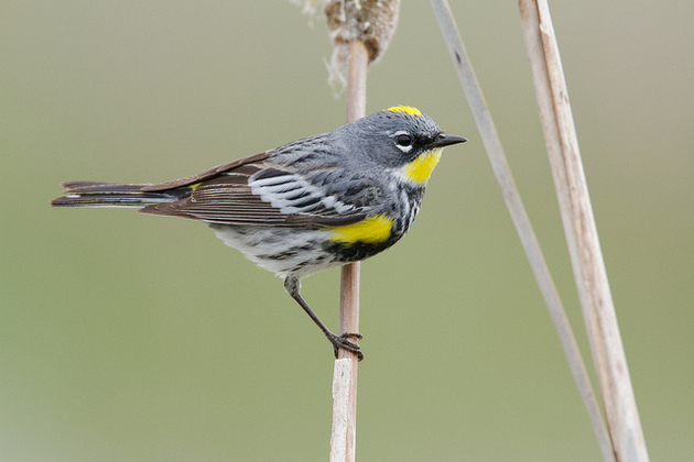 As many as 125 yellow-rumped warblers may have died at the Ivanpah solar plant in a one-year period. Photo: Rick Cameron / Flickr