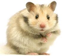 hamster-1760