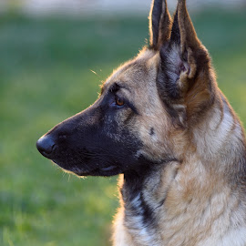 Diva - Female German Shepherd by William Sawtell - Animals - Dogs Portraits