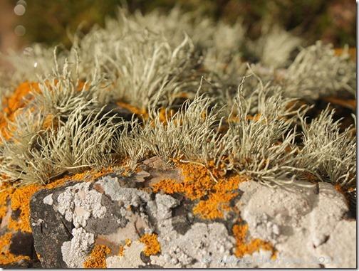 8-lichen