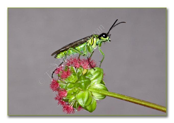 2 Bugs 3 G-L Sawfly