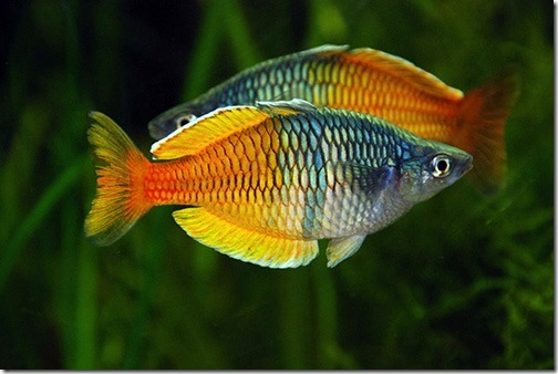 ca-xinh-ban-ca-cau-vong-thach-my-nhan-boesemani-rainbowfish-melanotaenia-boesemani-2