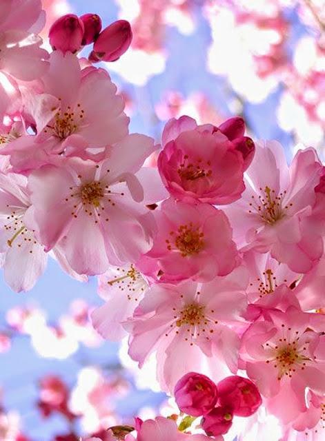 Blooming Cherry - カバー