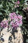 Acourtia, Sabino Canyon, Tucson 5/1 - Richard Derr