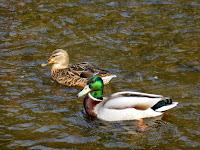 Mallard in River Dove at Milldale