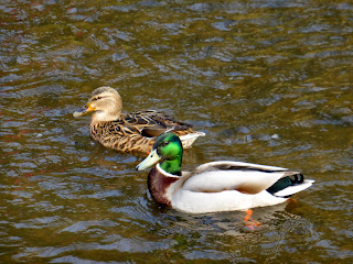 Mallard in River Dove at Milldale