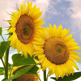 two sunflowers by LADOCKi Elvira - Flowers Flowers in the Wild ( nature, flowers, garden )