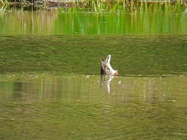 Duck under water, Hoh Rain Forest