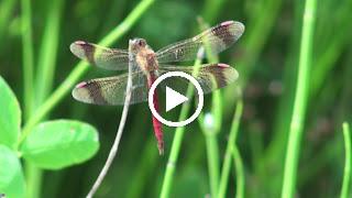 Mannetje van de Bandheidelibel op de uitkijk voor vliegjes