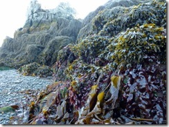 Bull kelp and bladderwrack seaweed on the sea floor