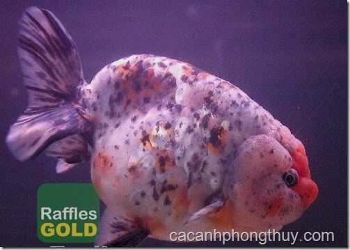ca-vang-gold-fish (6)