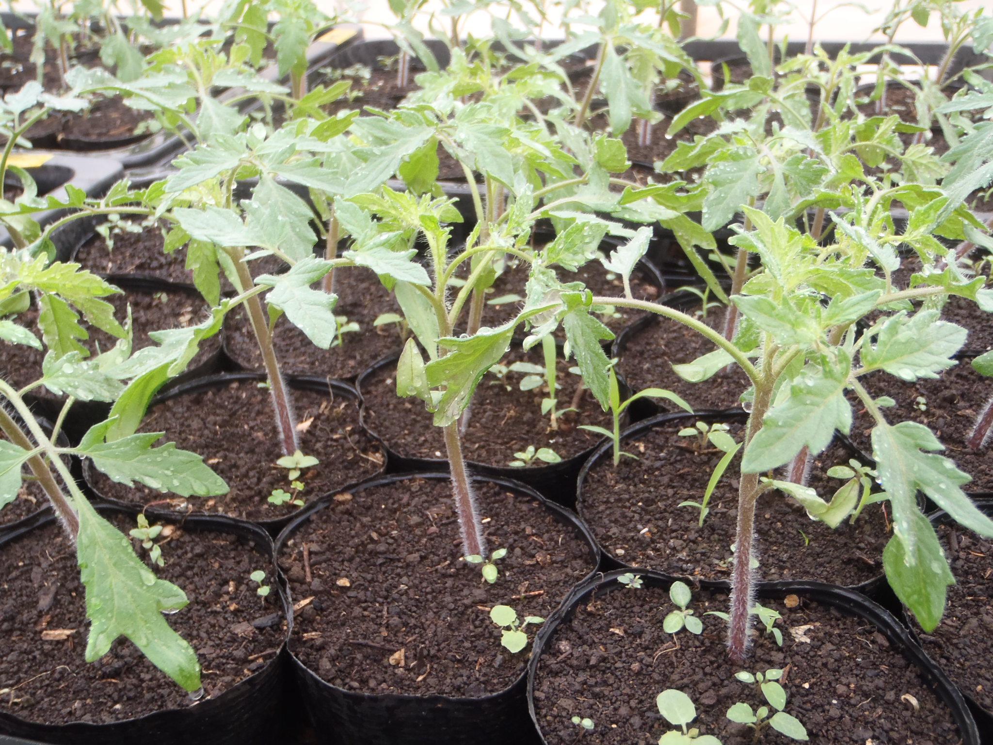 大玉トマトの苗