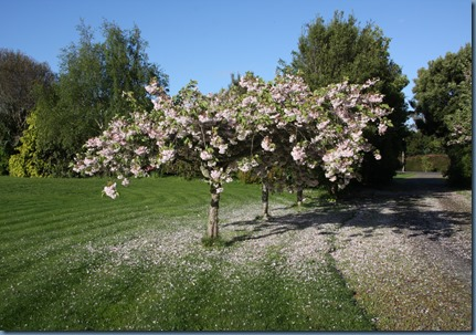 Flowering Cherry Tree, Hugh's photos