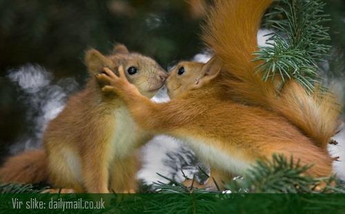 veverice