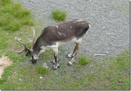 nl_argentia_salmonier_caribou