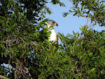 African fish eagle (photo by Clare) - Kruger National Park