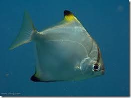 be-ca-canh-silver_batfish_silver_moony_cachimdoibac003-be-thuy-sinh