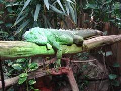201506.21-006 iguane vert