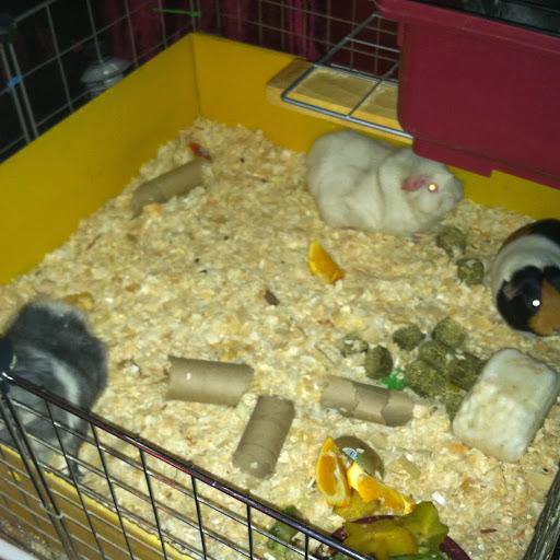 how to make guinea pig bedding