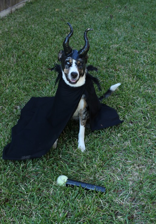 Maleficent Dog costume DIY using electrical tape, aluminum foil and elastic for the horn crown and cape Domesticability.com
