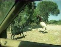 1982.06.28-028.12 combat de chèvres
