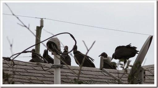 04-30-buzzards4