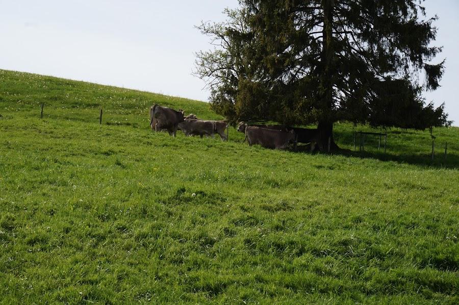 Коровы на альпийских лугах