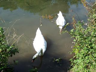Swans on River Lathkill