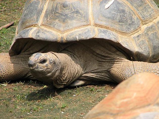 Aldabra Giant Land Tortoise
