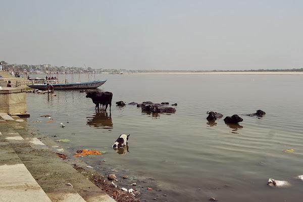 ганг буйволы коровы река вода