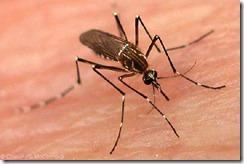 dengue_mosquito-2308
